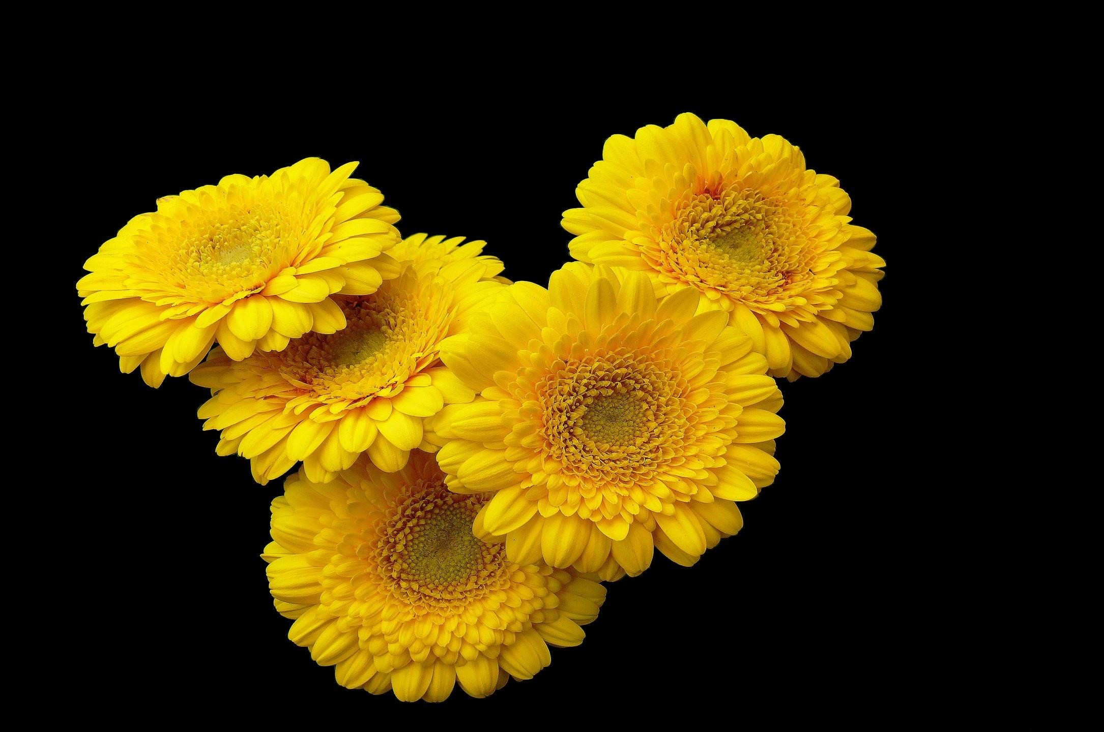 Wallpaper gerbera, flower, yellow, black background