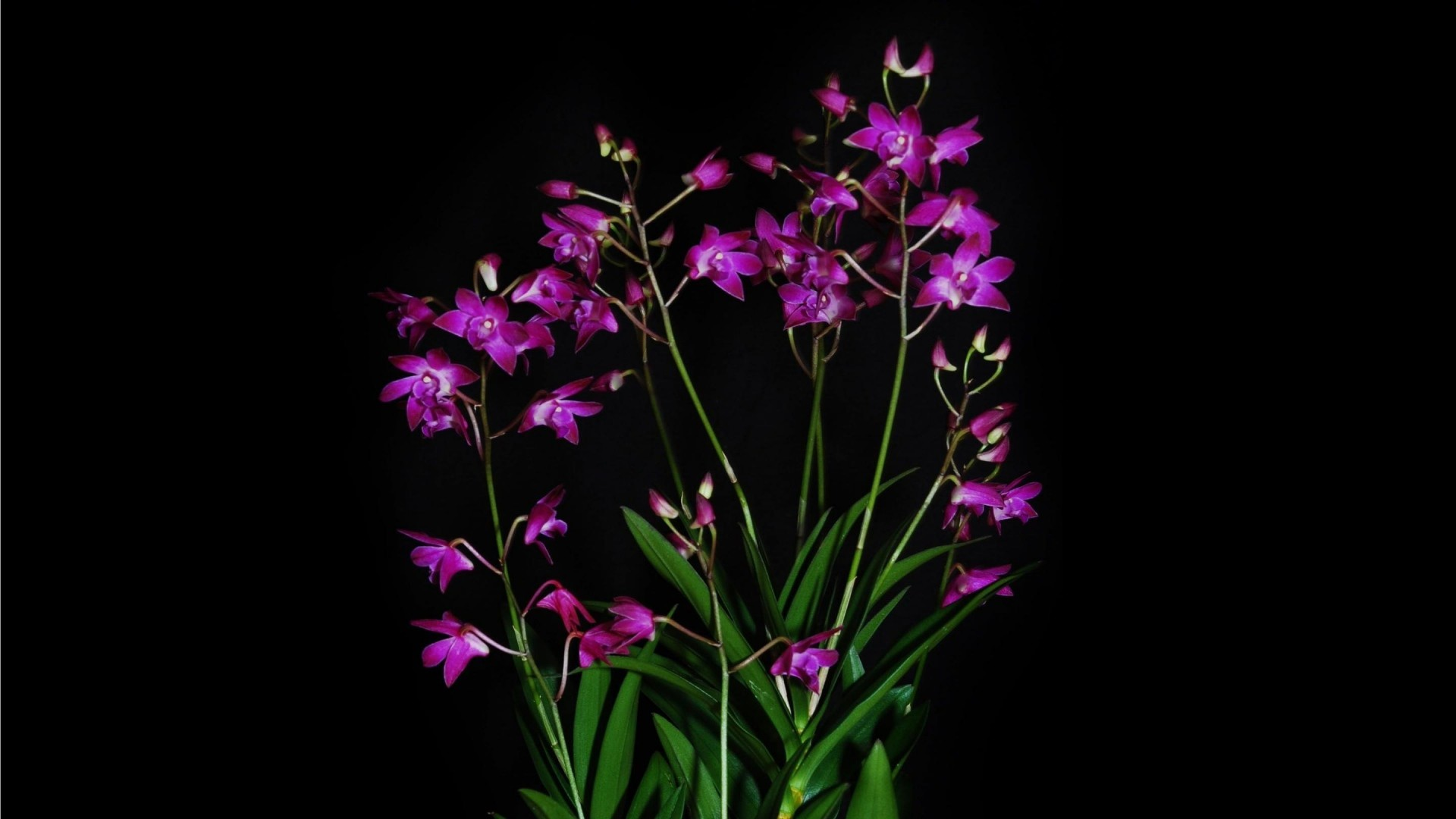Pleasant Orchid Exotic Black Background Contrast Hd Images Wallpaper