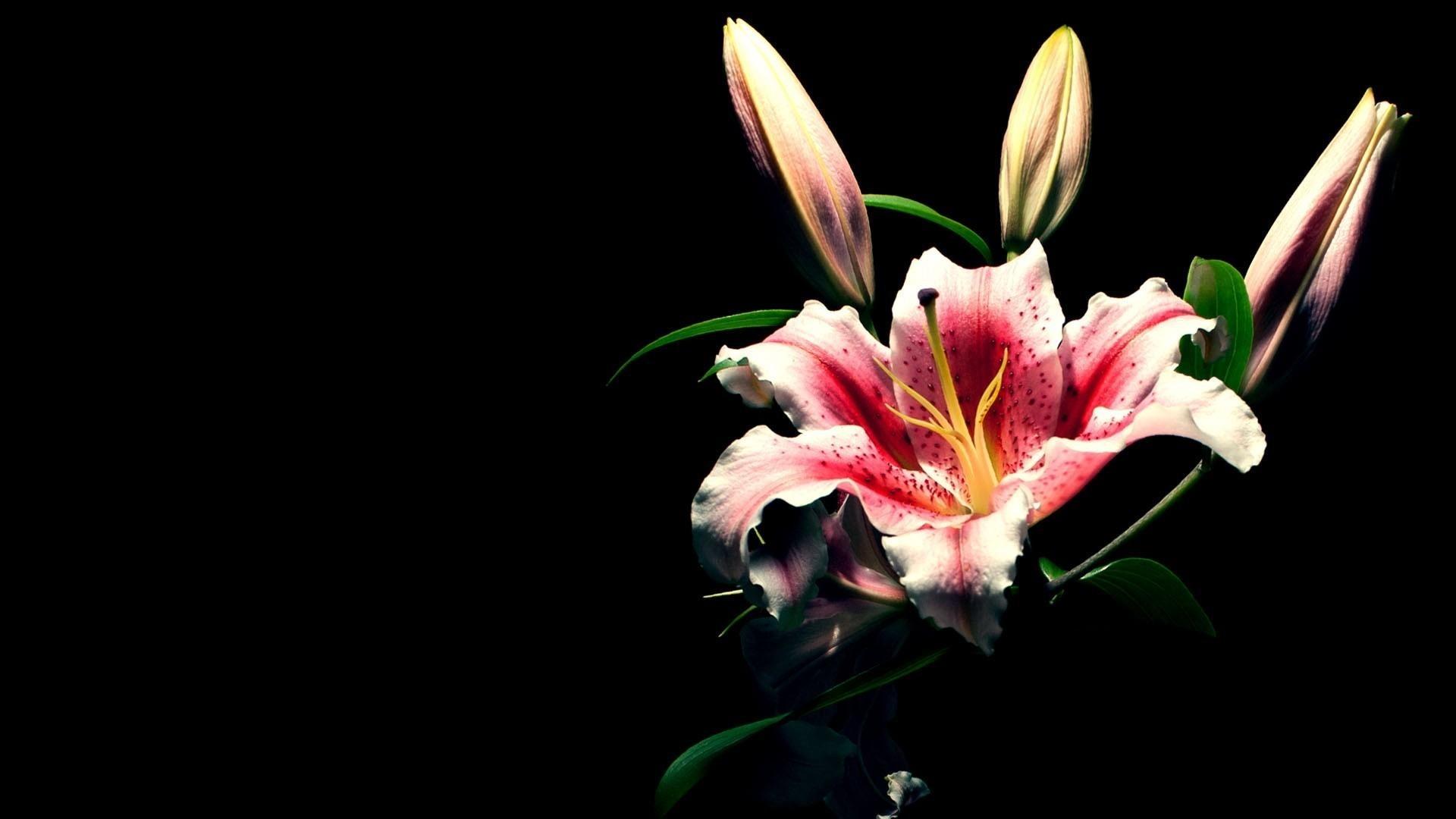 White Lily Flower Wallpaper for PC Full HD Pictures | Wallpapers 4k |  Pinterest | White lily flower, Flower wallpaper and Wallpaper