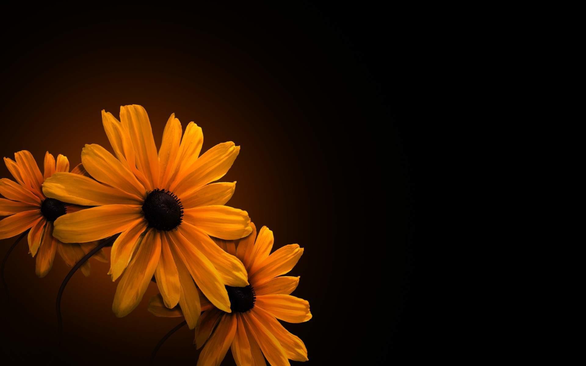 Yellow flower black background Wallpaper iPhone Pinterest 1920×1200
