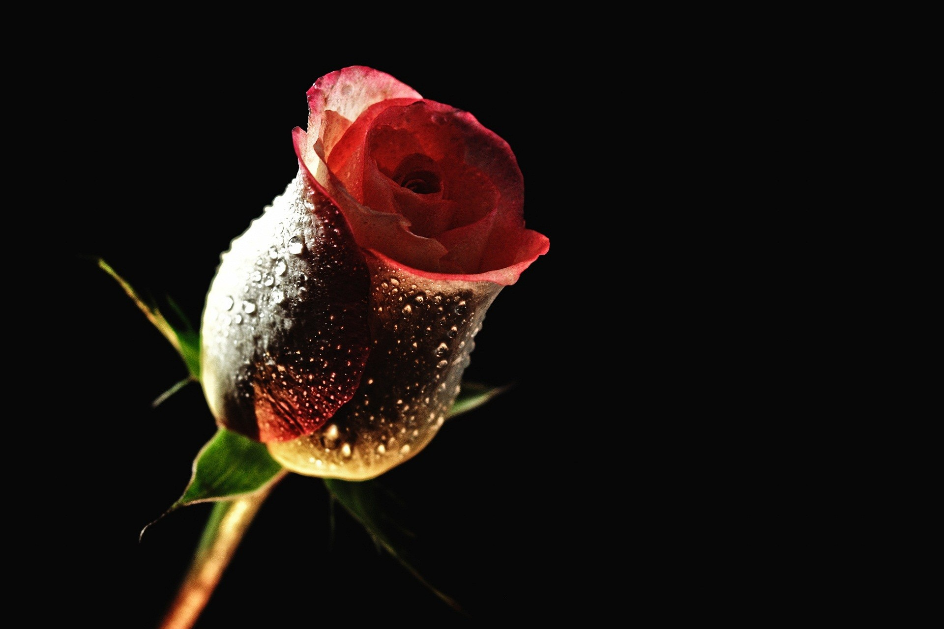 Explore Flower Backgrounds, Hd Backgrounds, and more! Red Rose With Black  Backgrounds Wallpaper