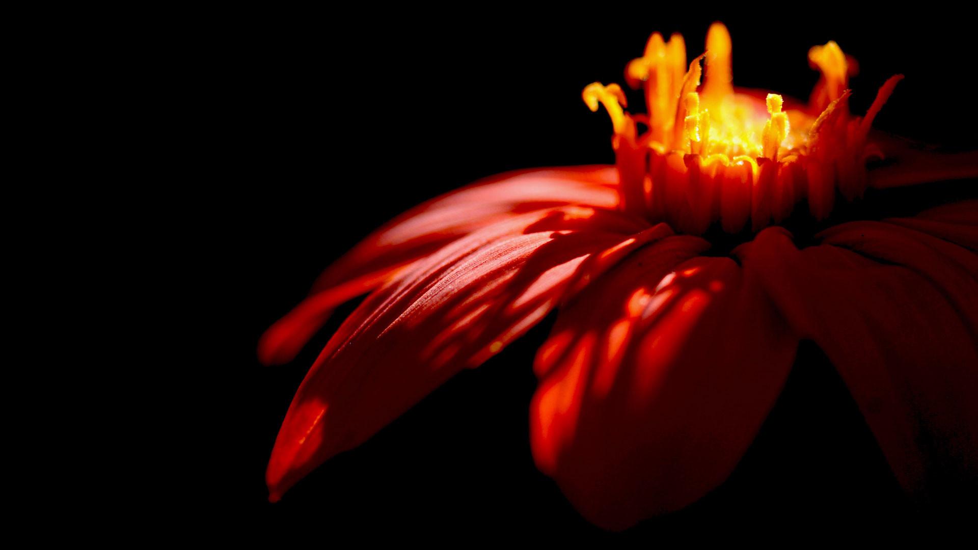 hd pics photos red flowers petals black hd desktop background wallpaper