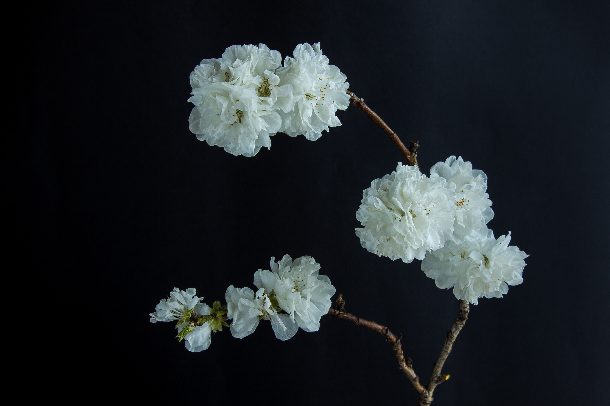 Branch Flowers on black Background