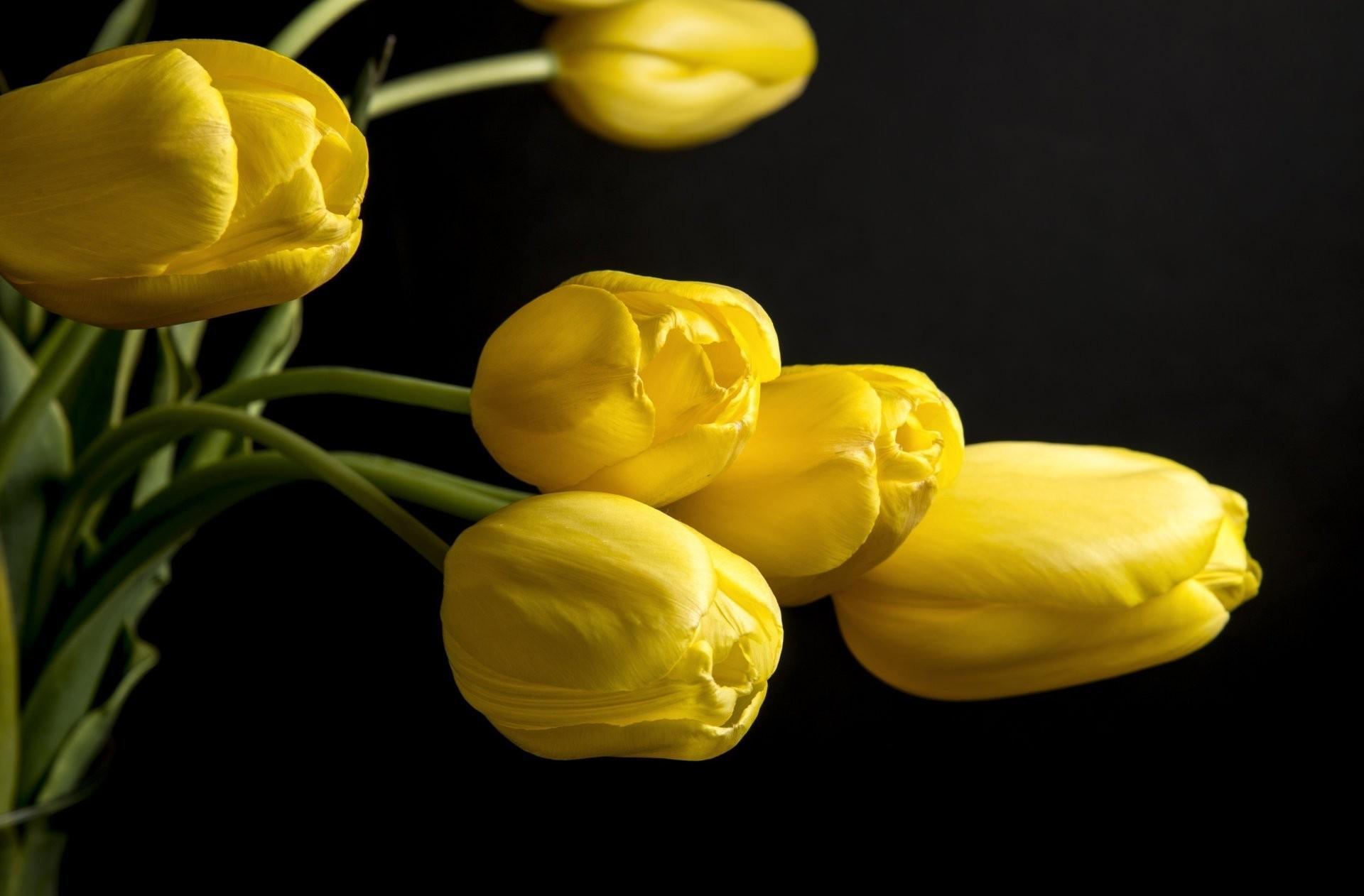tulips flower petals yellow background black