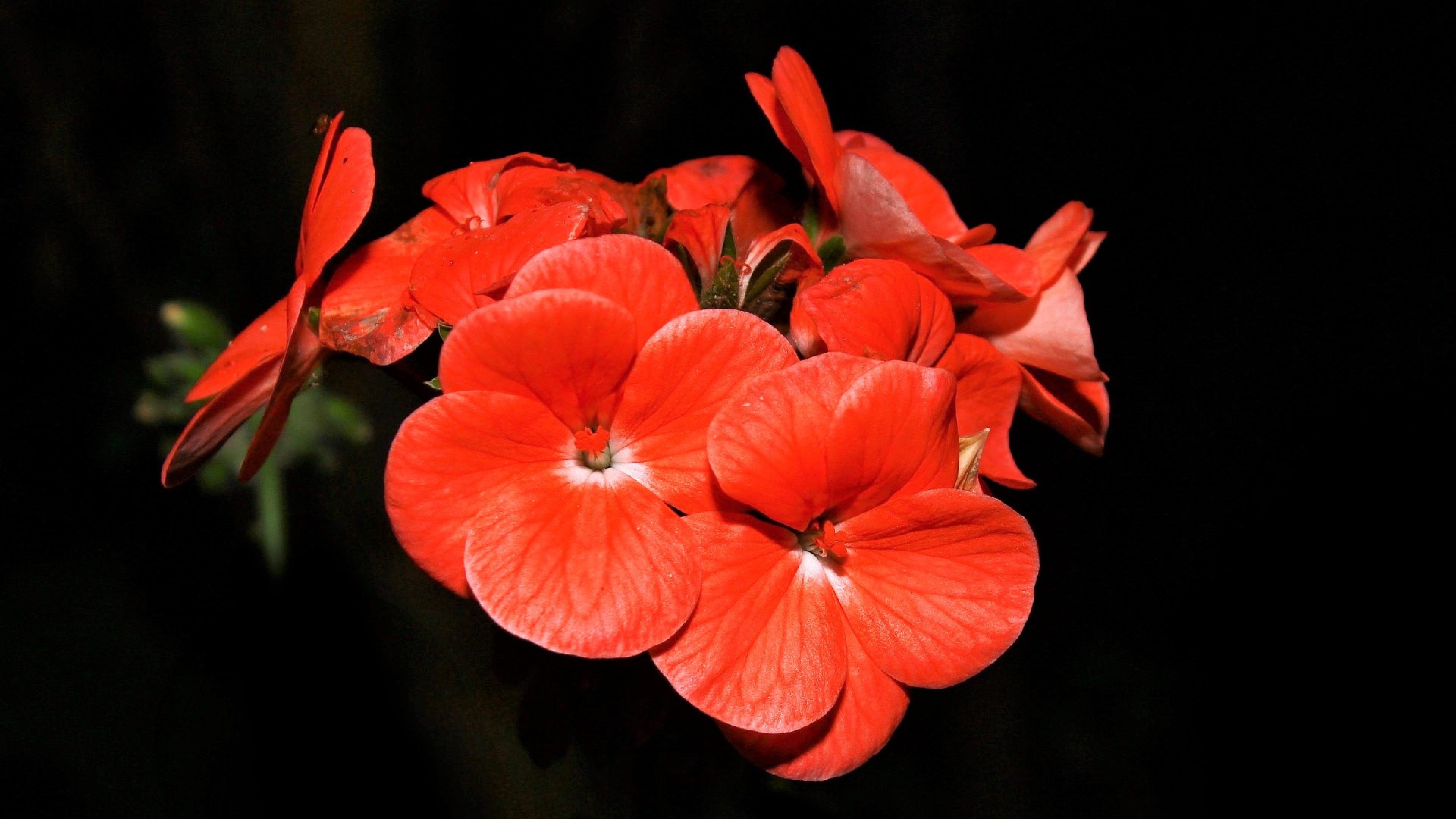 Red beautiful flowers on a black background