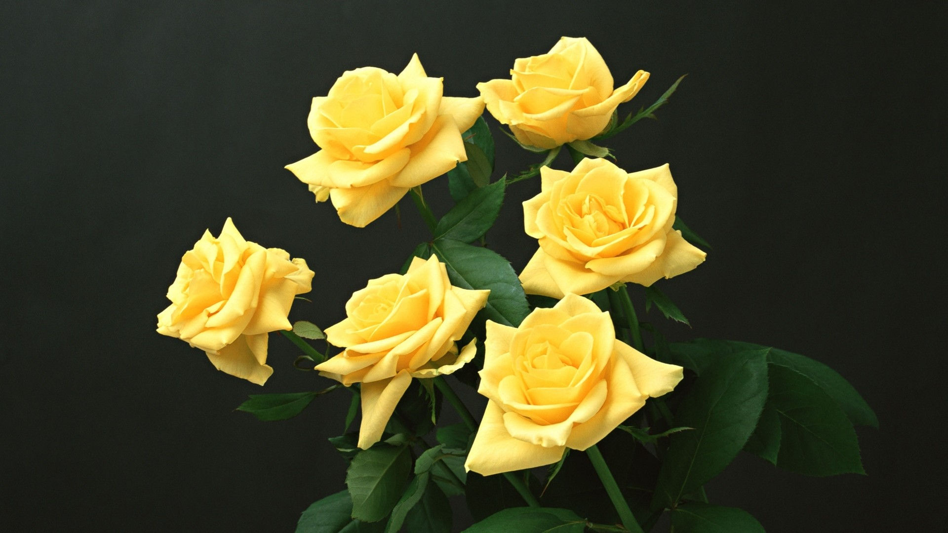 Wallpaper yellow, roses, black background, flowers