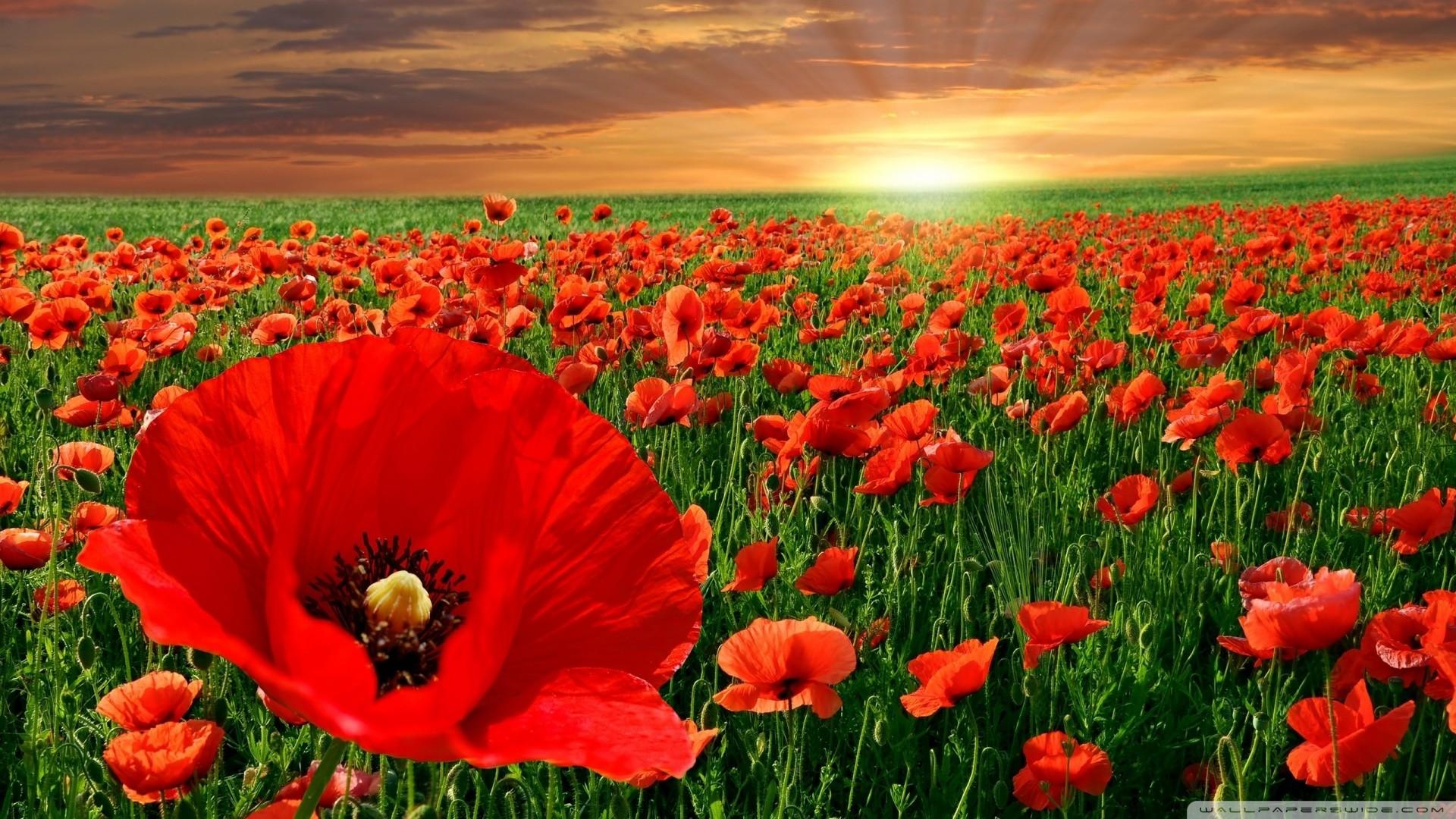 Sunset Poppy Field Wallpaper Sunset, Poppy, Field