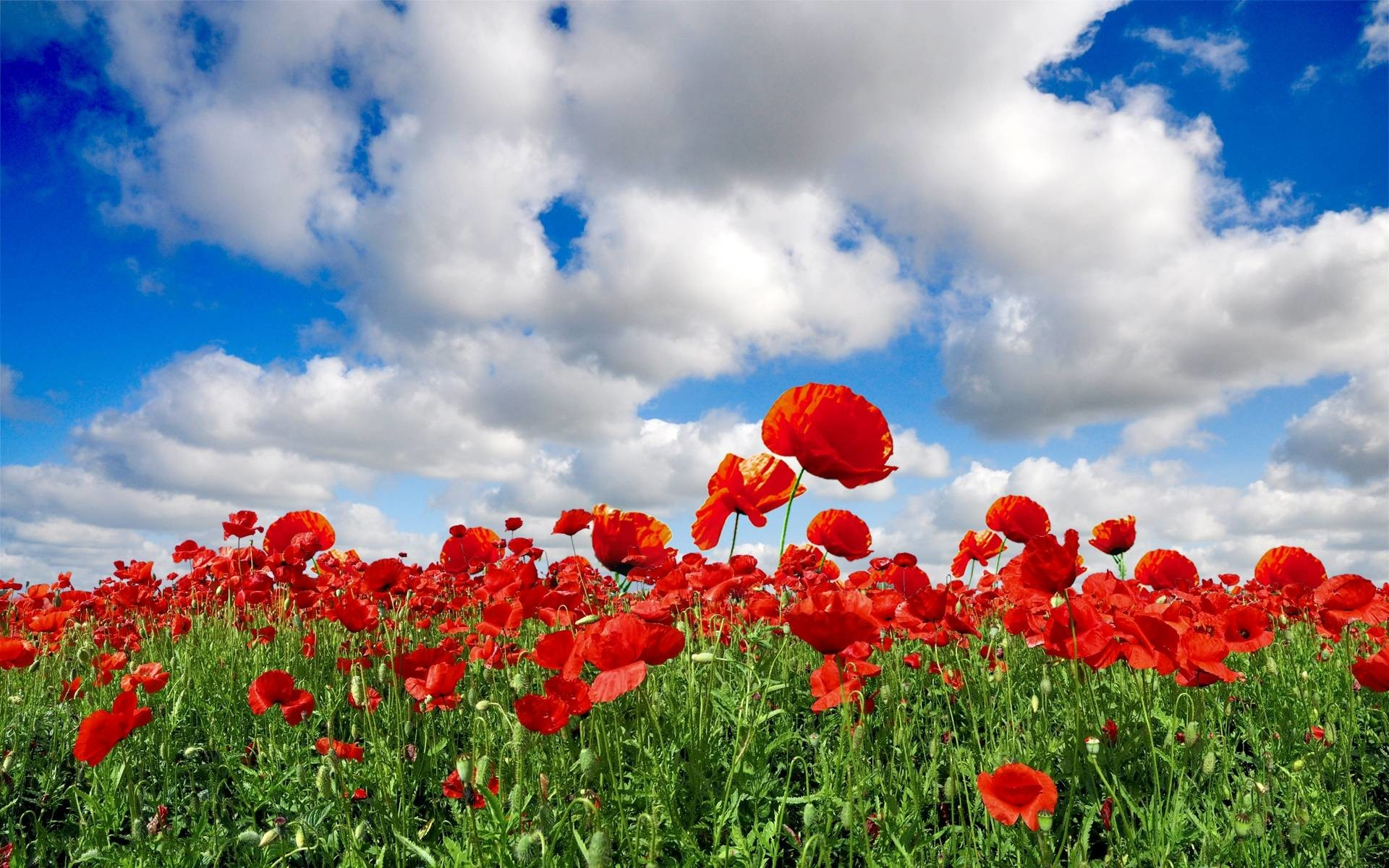 Most Downloaded Poppy Wallpapers – Full HD wallpaper search