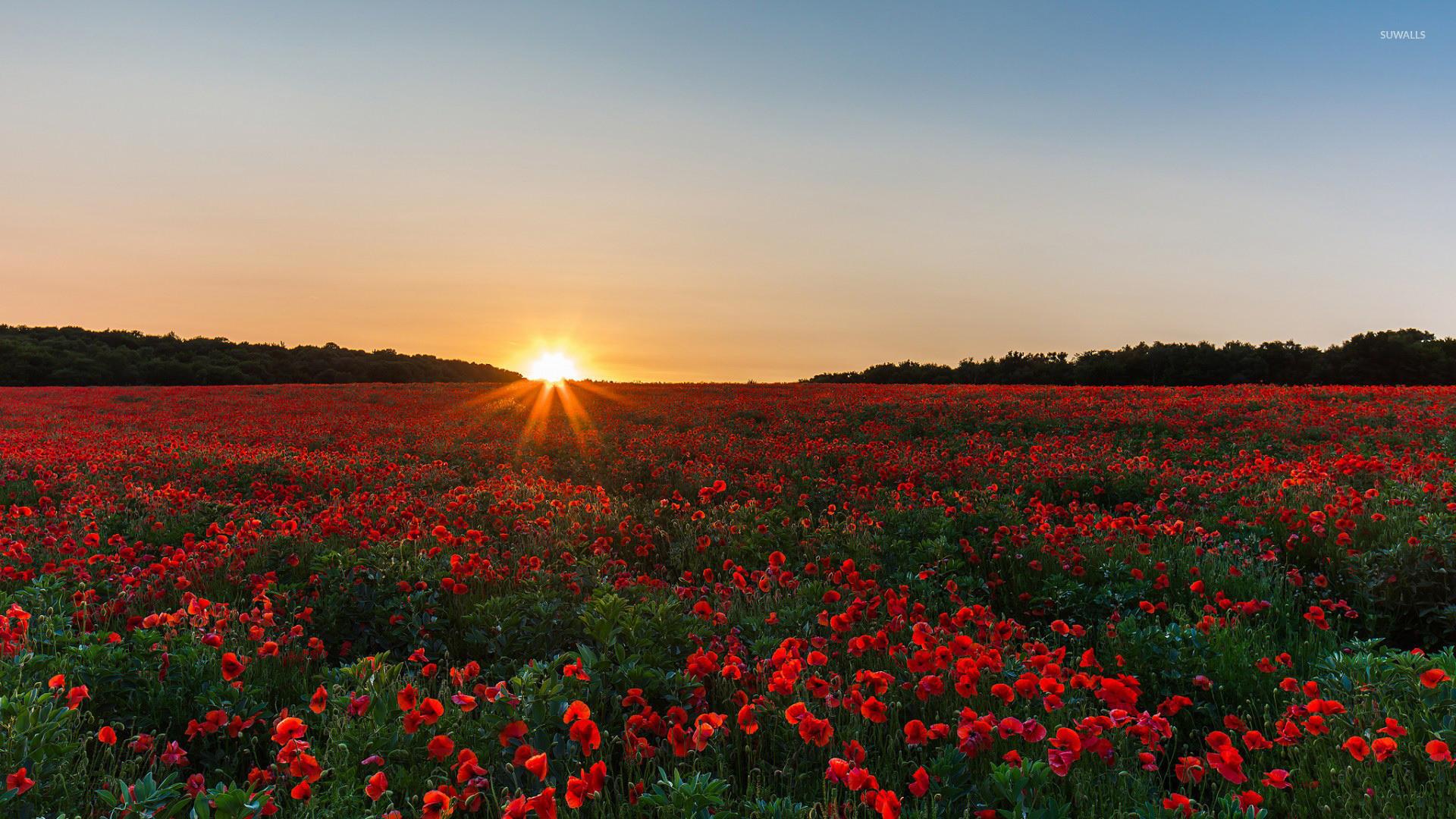 Poppy field at sunrise wallpaper