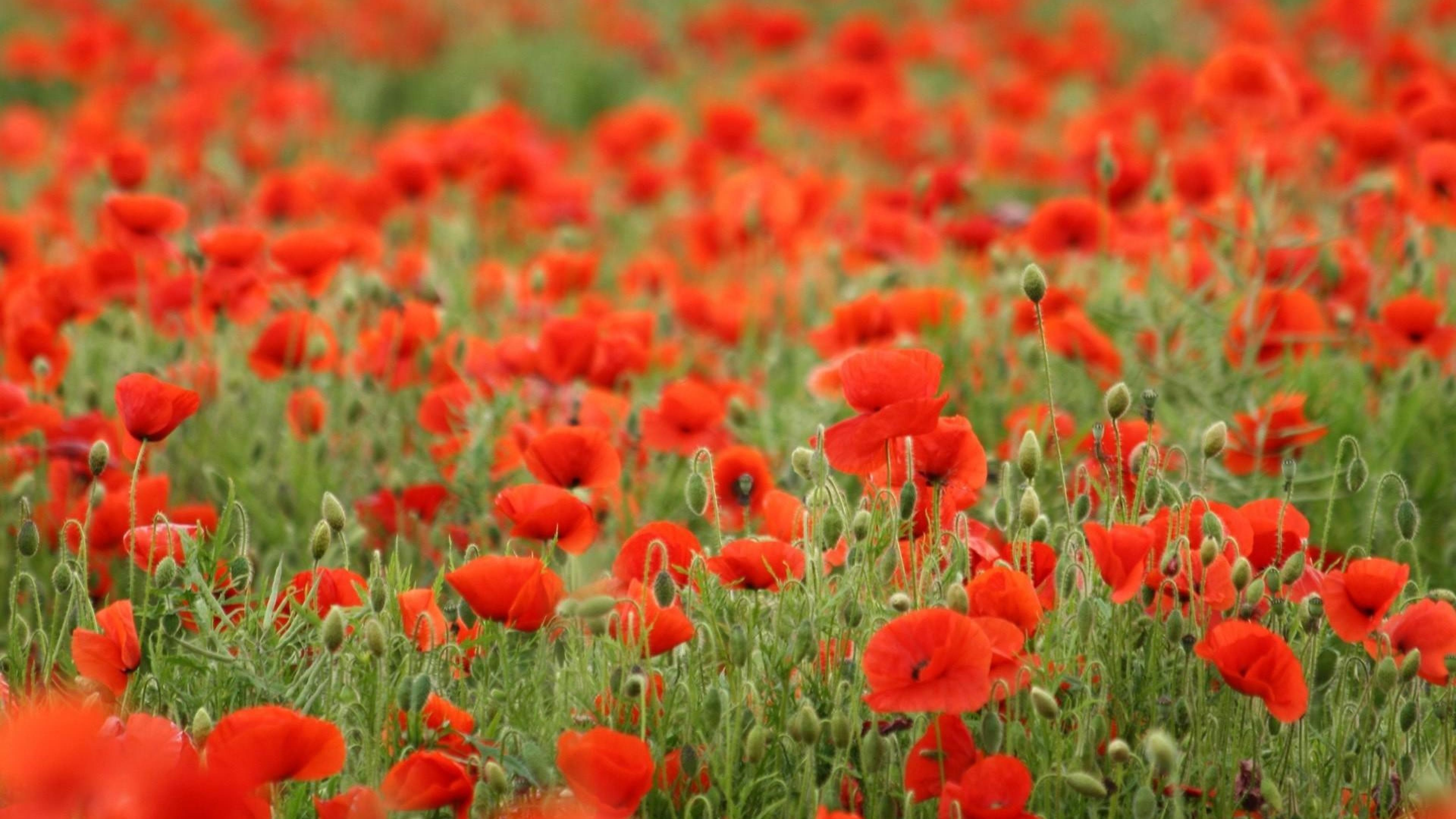 field-of-poppies-uhd-wallpaper-10