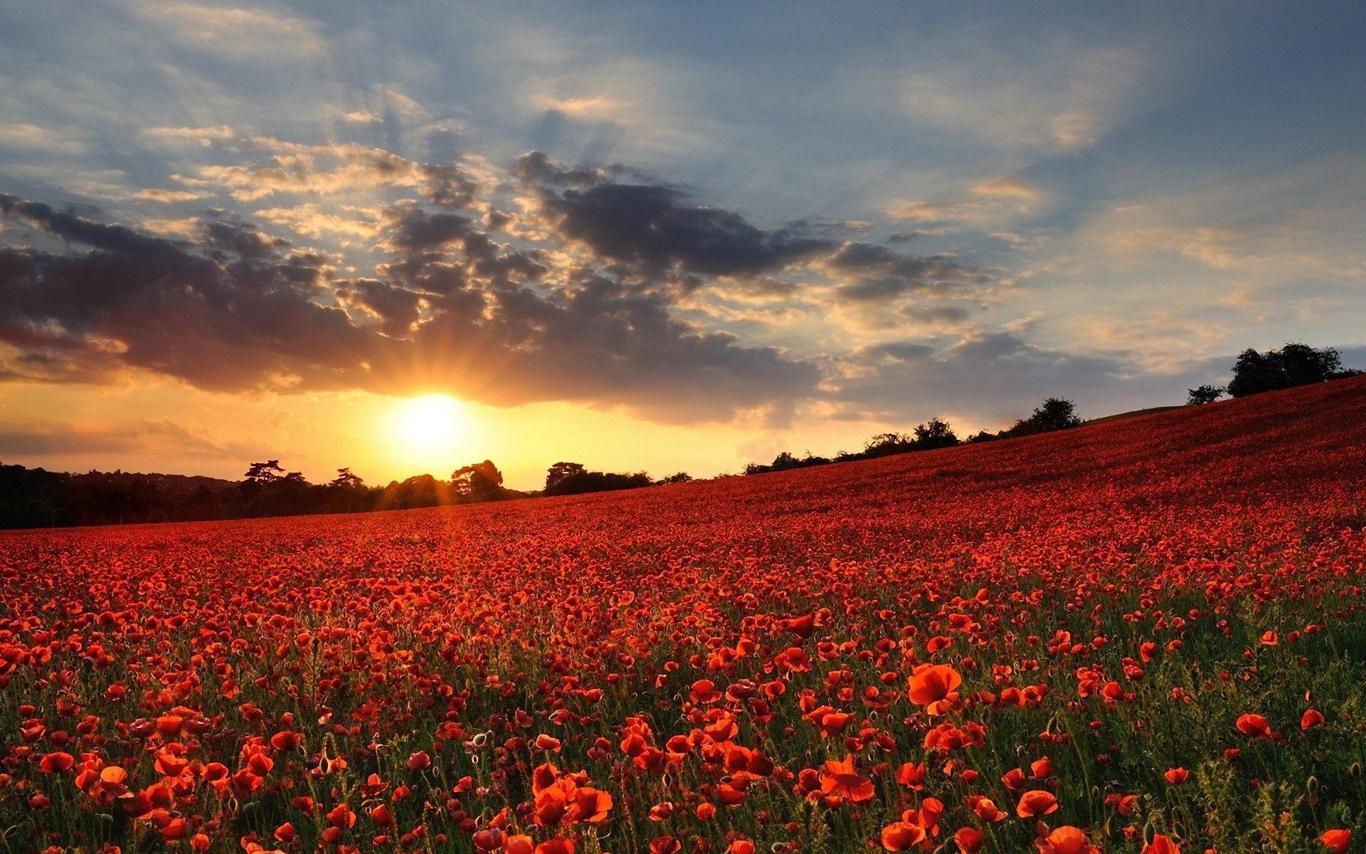 Poppy Flower Field Sunset Wallpaper 7711 – uMad.com