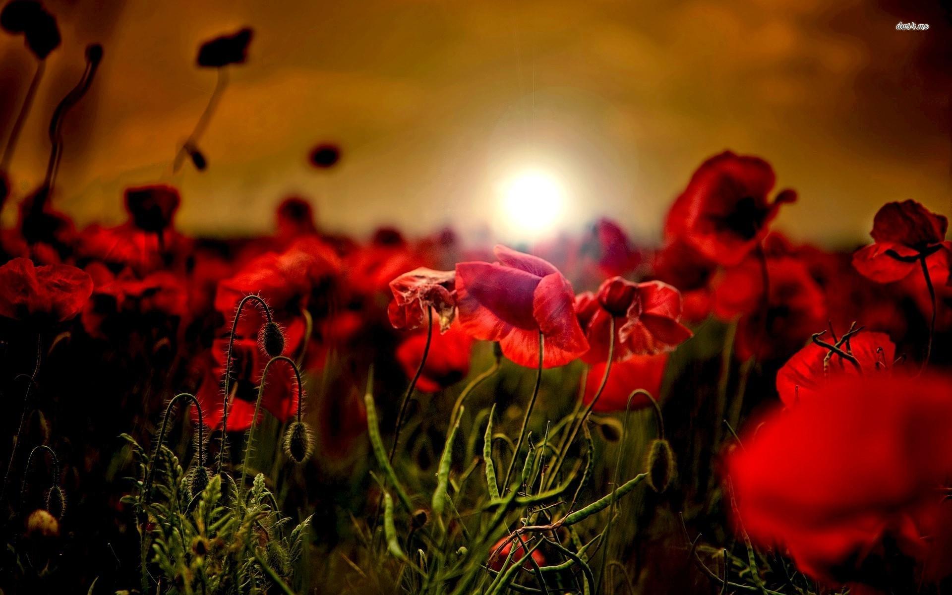 Poppy field in the sunset Flower HD desktop wallpaper, Field wallpaper,  Sunset wallpaper, Poppy wallpaper – Flowers no.