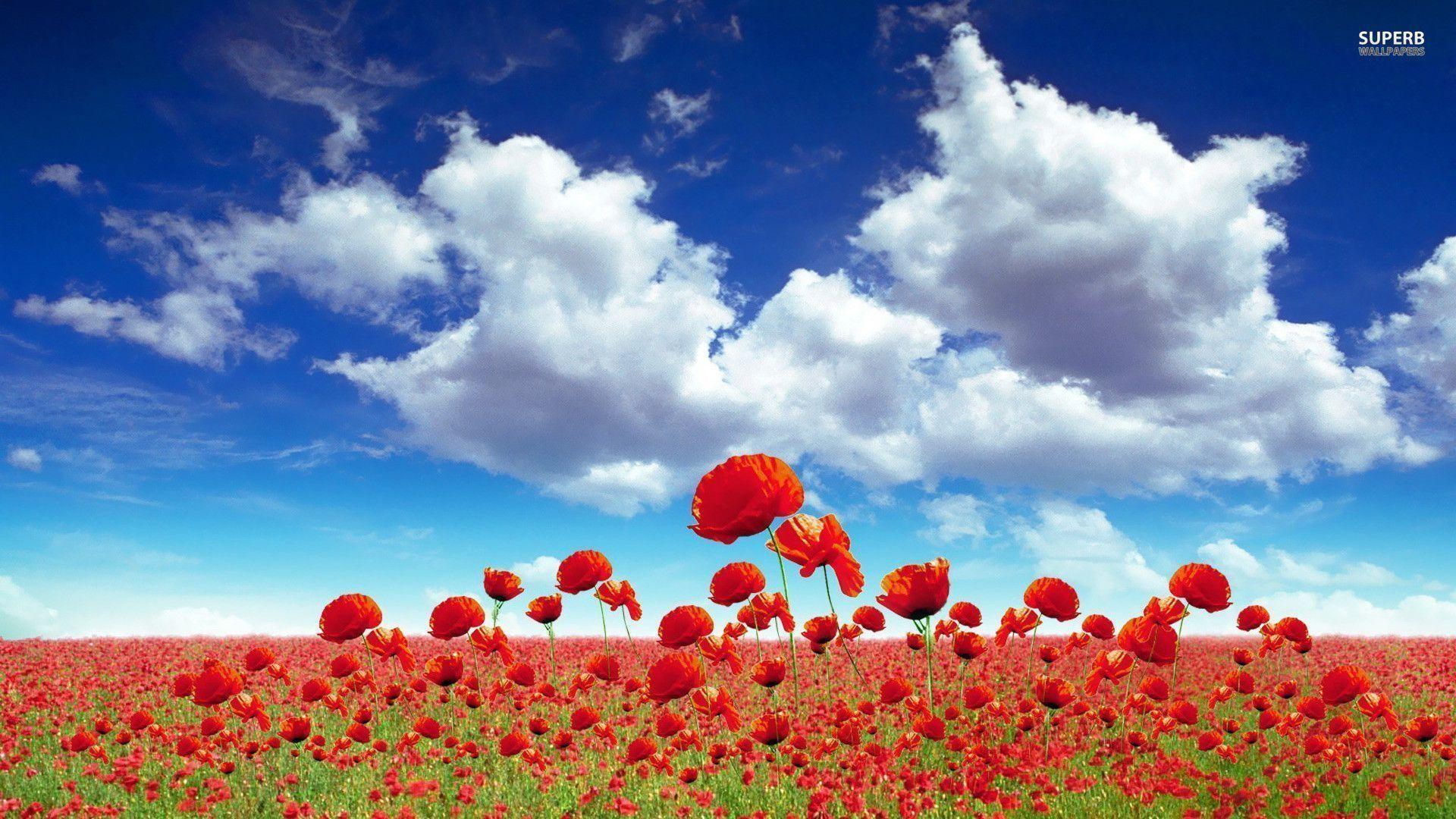 Poppy field wallpaper – Flower wallpapers – #