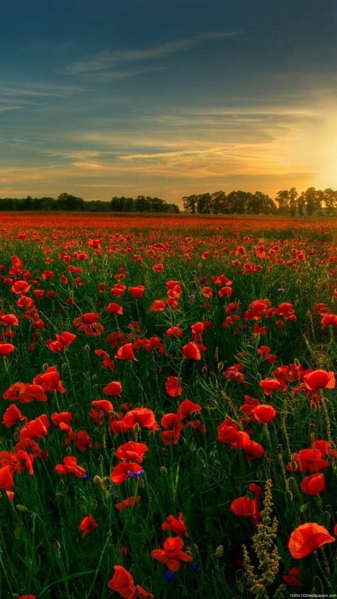 flowers tree sunset field sky wallpapers HD – 1080P flowers  wallpapers
