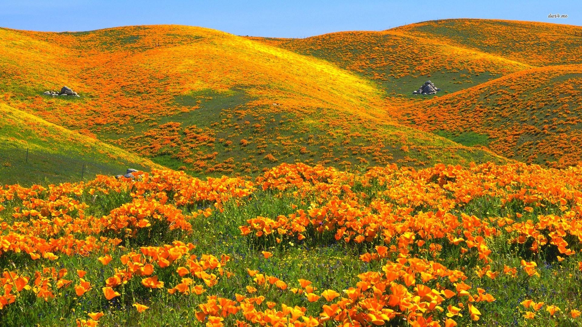 Field wallpaper · Orange Poppy Field