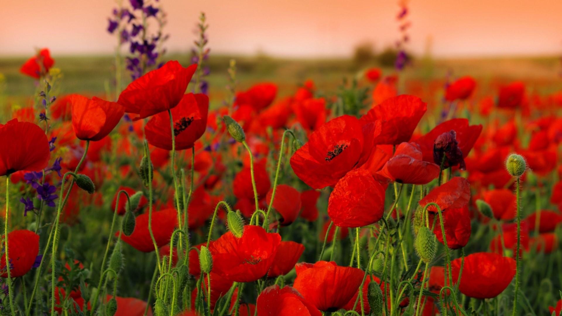 Preview wallpaper poppies, flowers, field, sharpness, summer 1920×1080