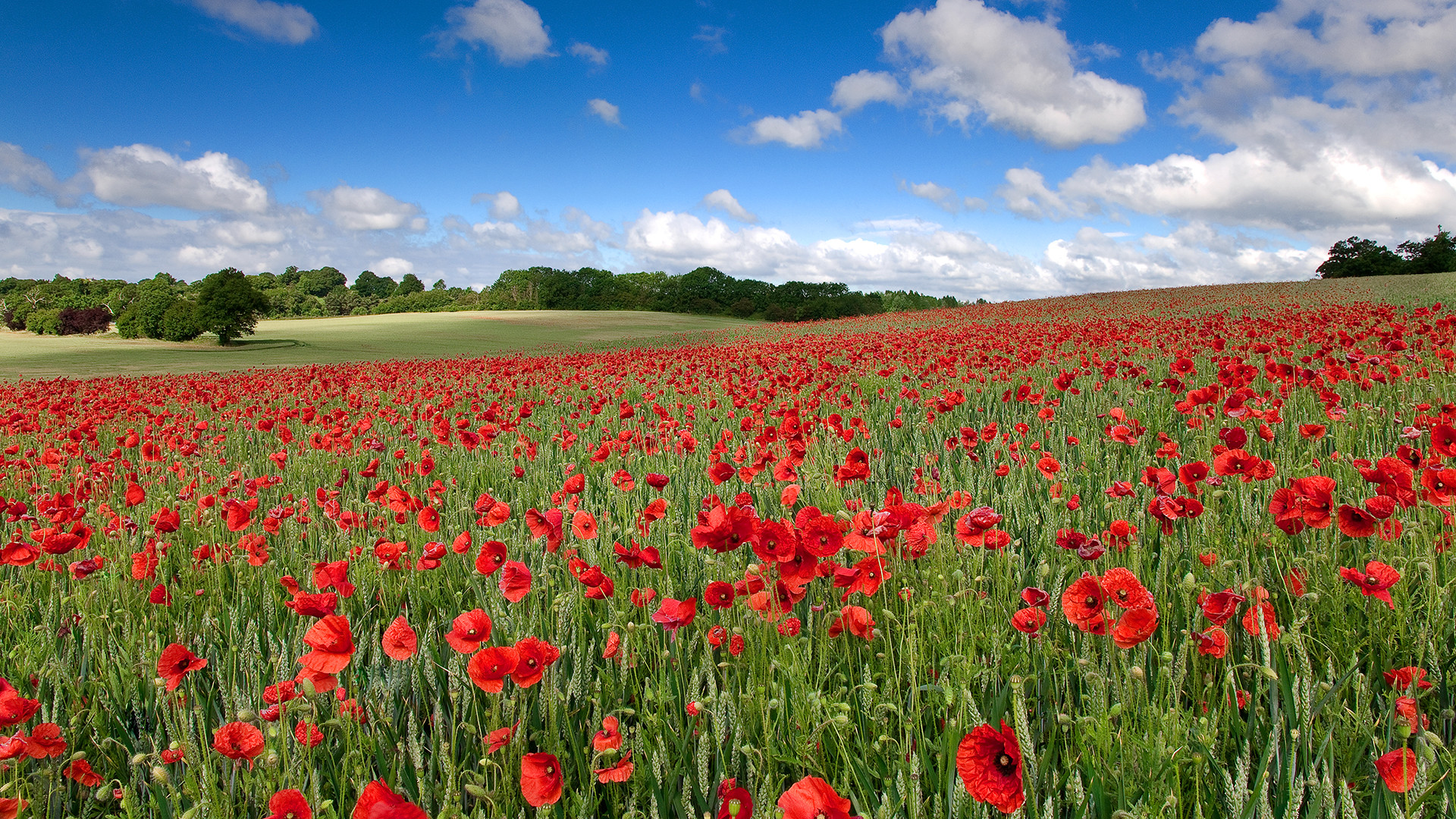 Images For > Poppies Painting Wallpaper