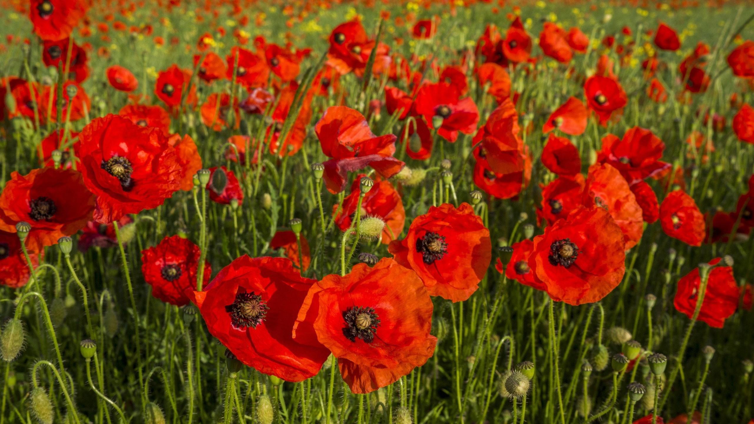 Wallpaper poppies, flowers, field, grass