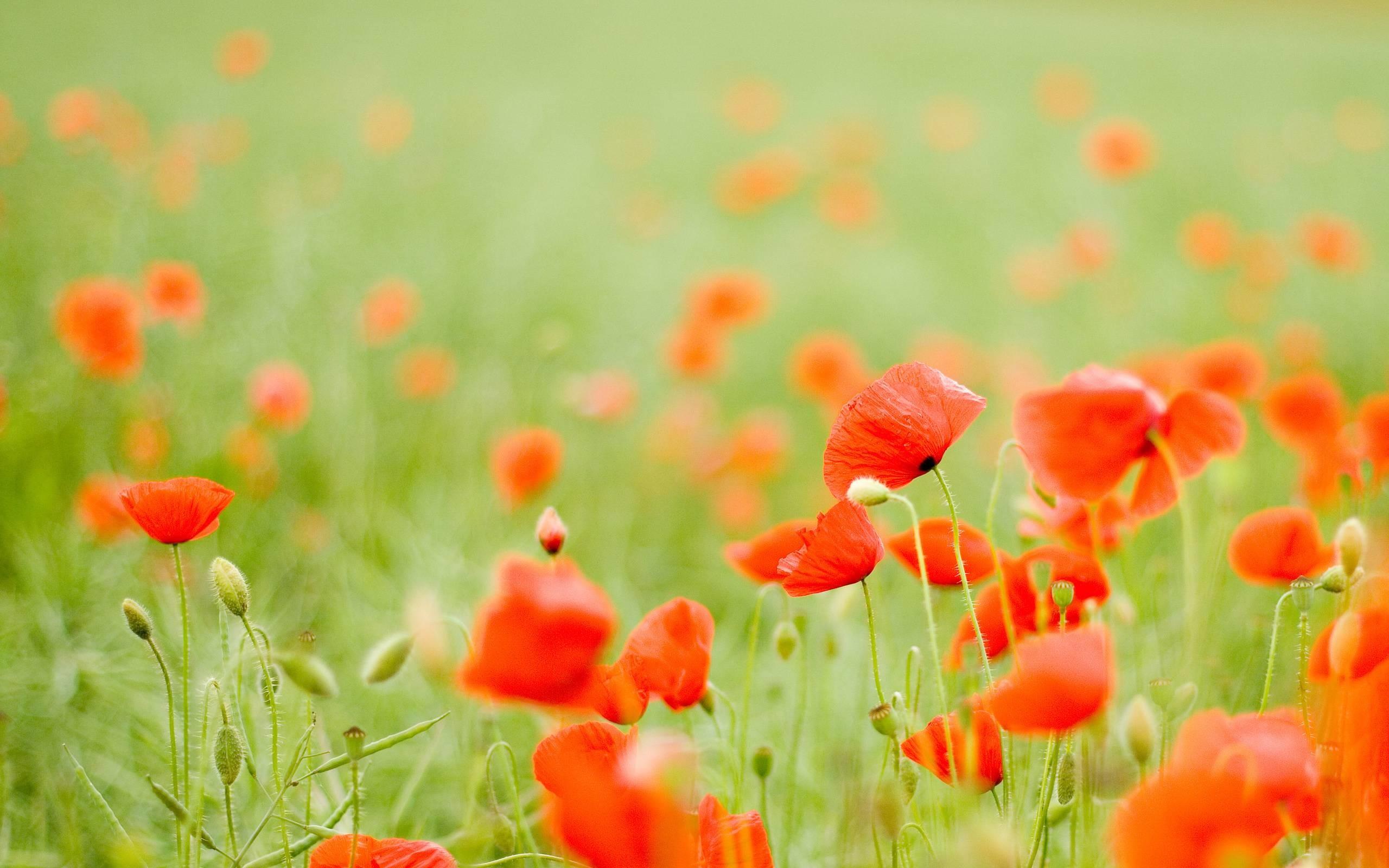 HD Fields Od Poppy Wallpaper | Download Free – 91934