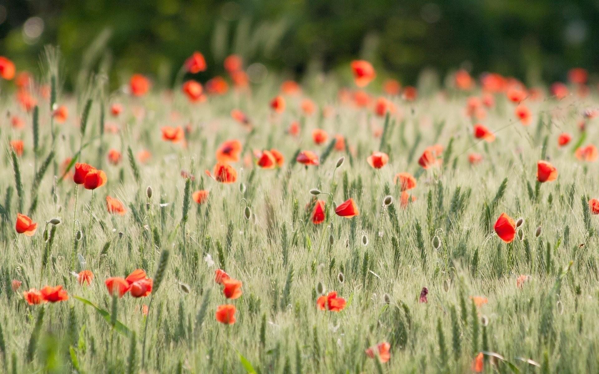 flower flowers poppy poppies the field wheat rye ears spikelets . field  beautiful background wallpaper widescreen