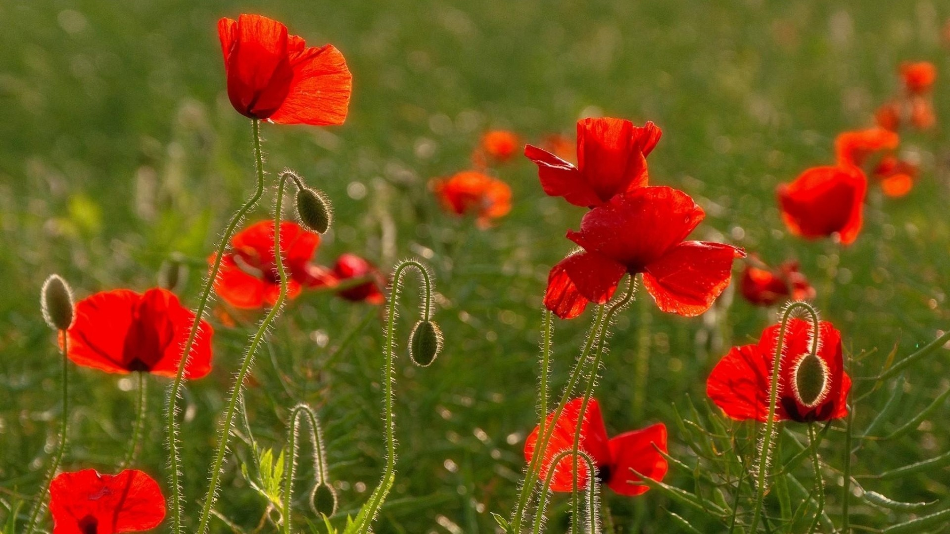 Preview poppies