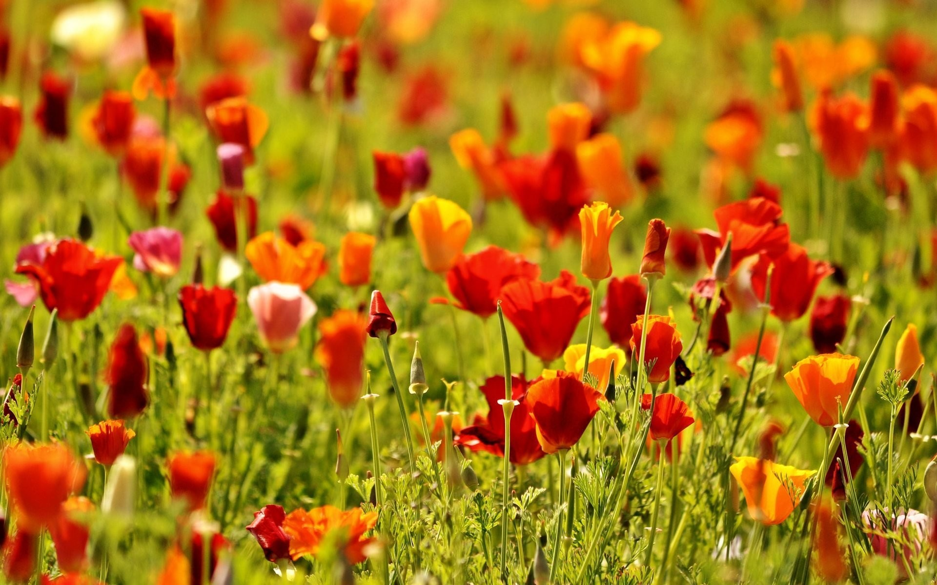 flower flowers flower flowers poppies poppy red the field nature green  flowers flower nature macro background