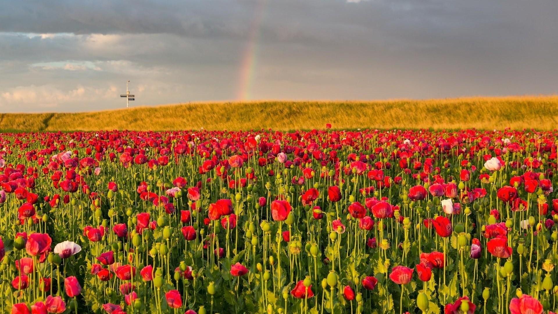 Wallpaper poppies, field, sky, rainbow, summer