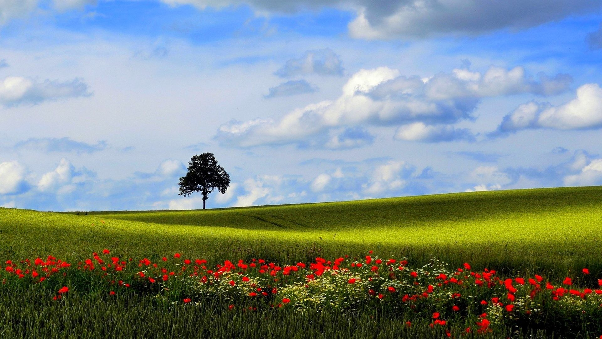 Poppy Tag – Poppy Nature Poppies Tree Field Lavender Fields Desktop  Backgrounds for HD 16: