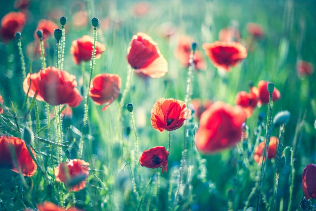 nature summer the field poppies bokeh