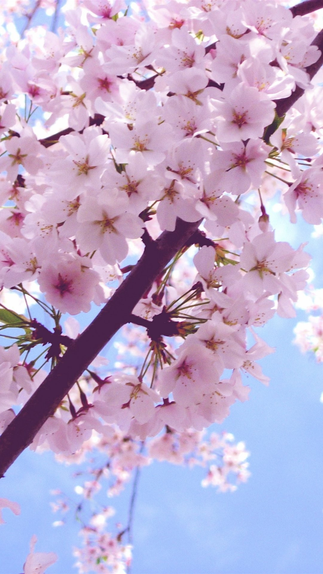 Cherry Blossom iPhone 6 Plus Wallpaper 6556 – Flowers iPhone 6 Plus  Wallpapers