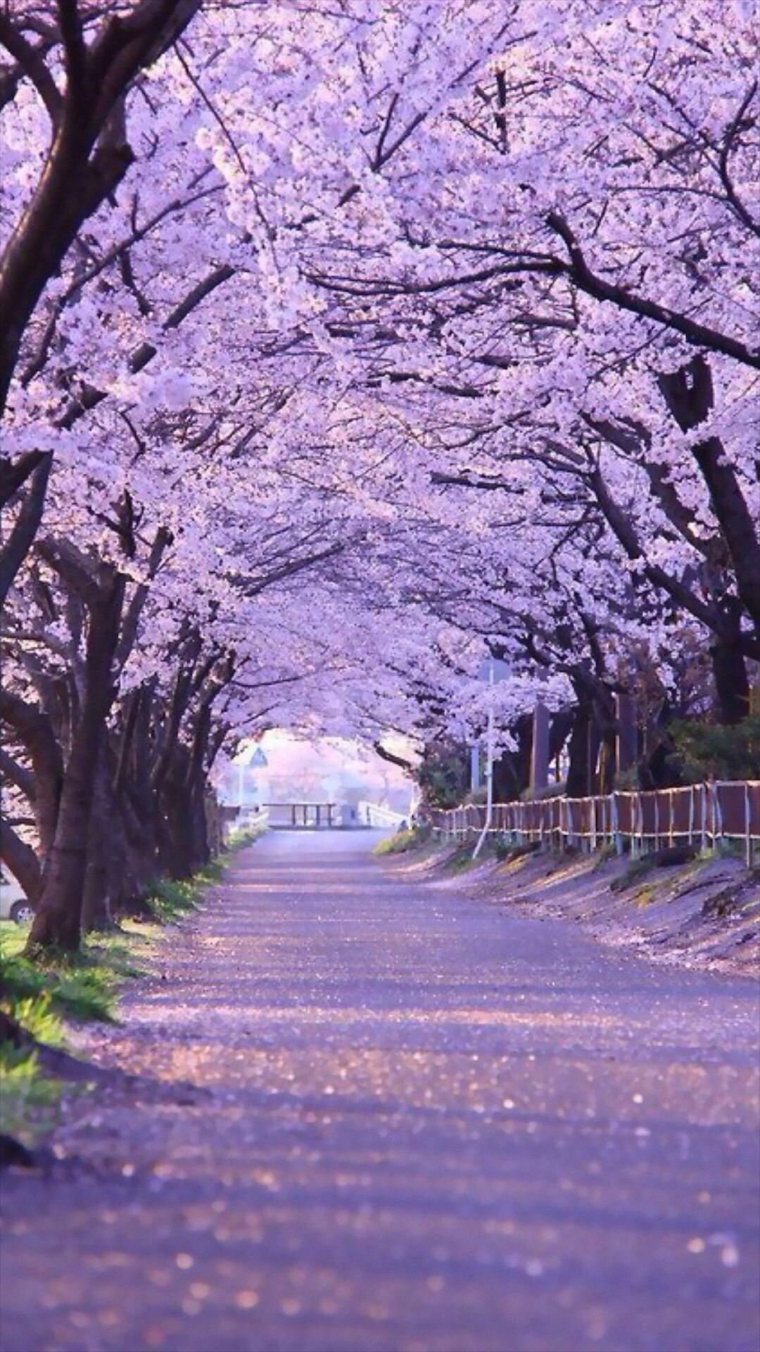 Sakura Blossom Street #iPhone #6 #plus #wallpaper