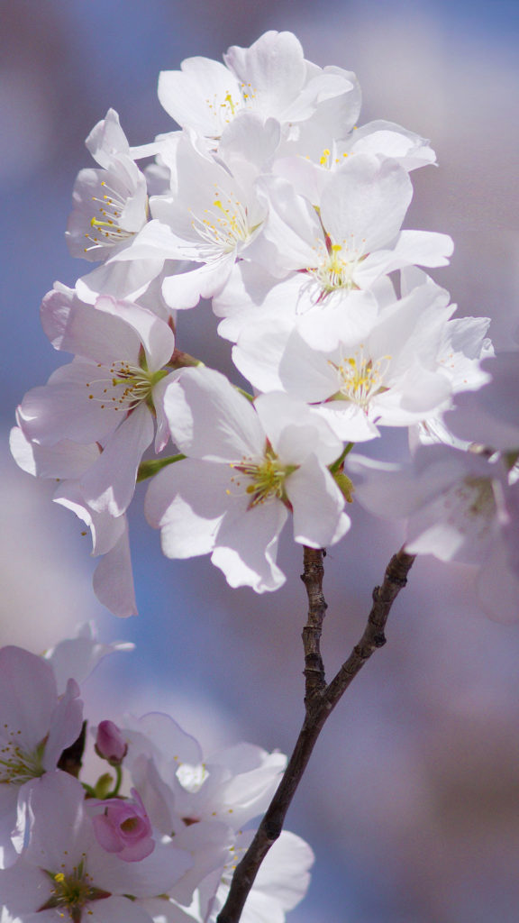 Free Androis Cherry Blossom Wallpaper iPhone