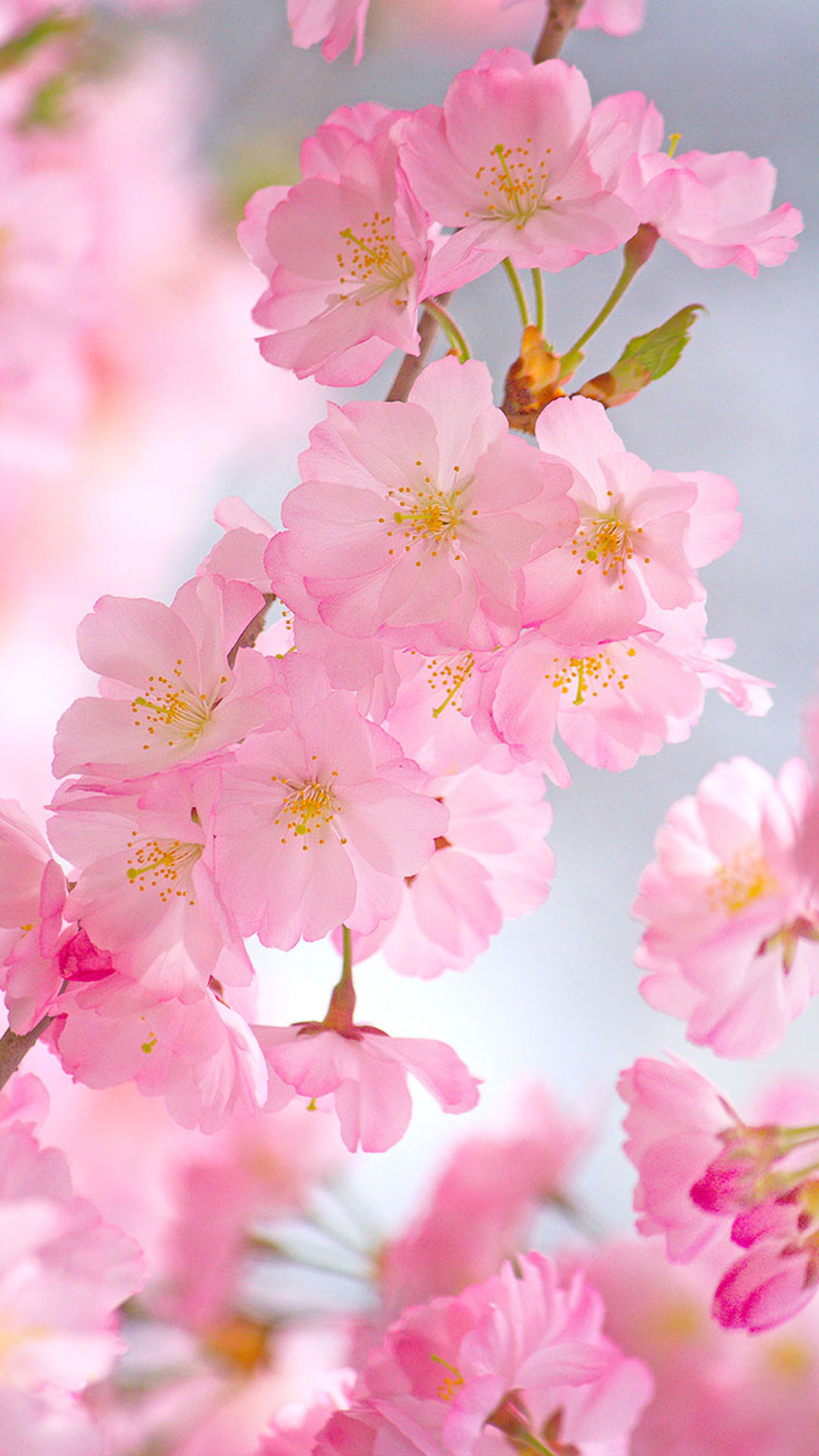 Cherry Blossoms – Android Wallpaper