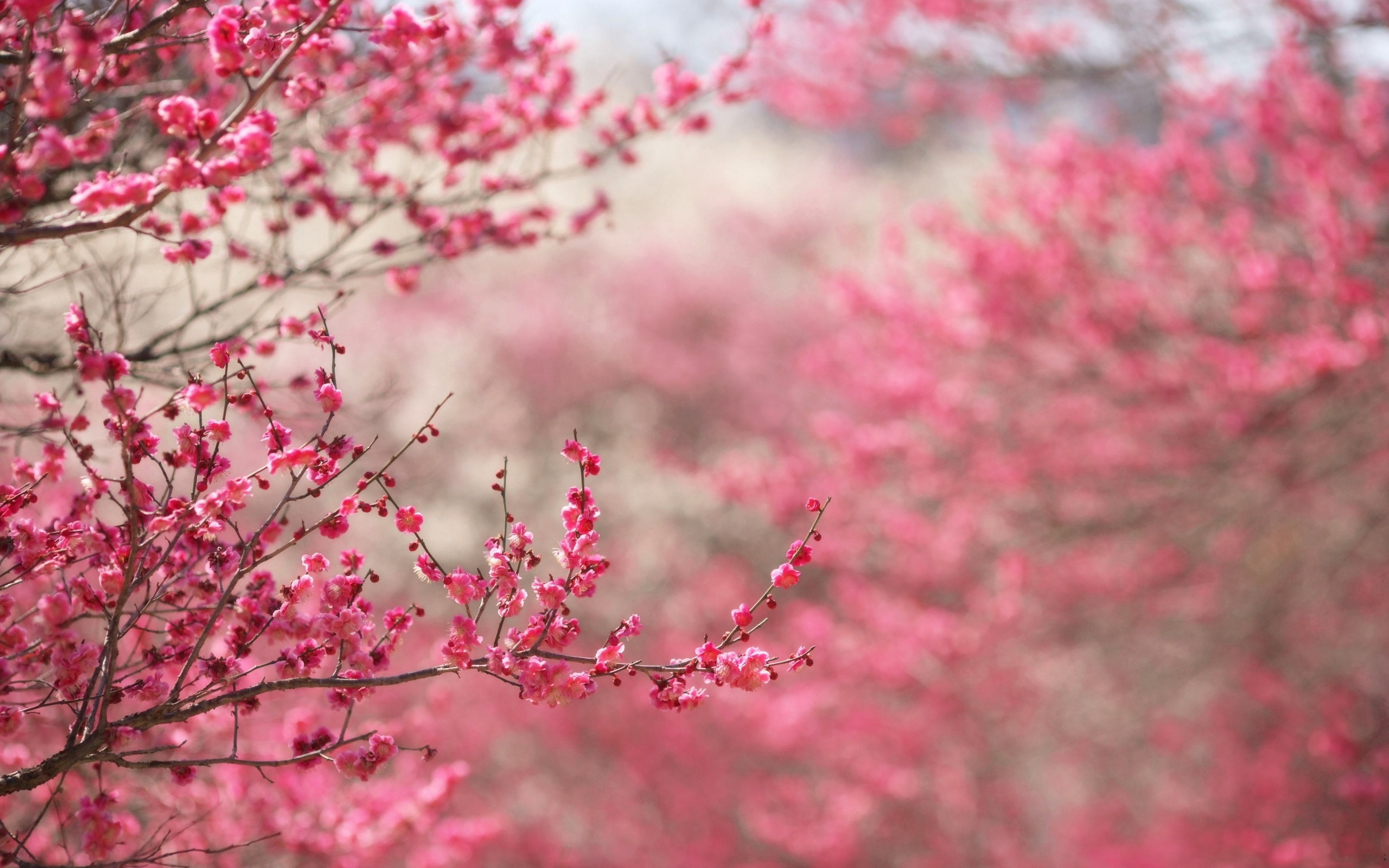 Pink Cherry Blossom Tree Wallpaper