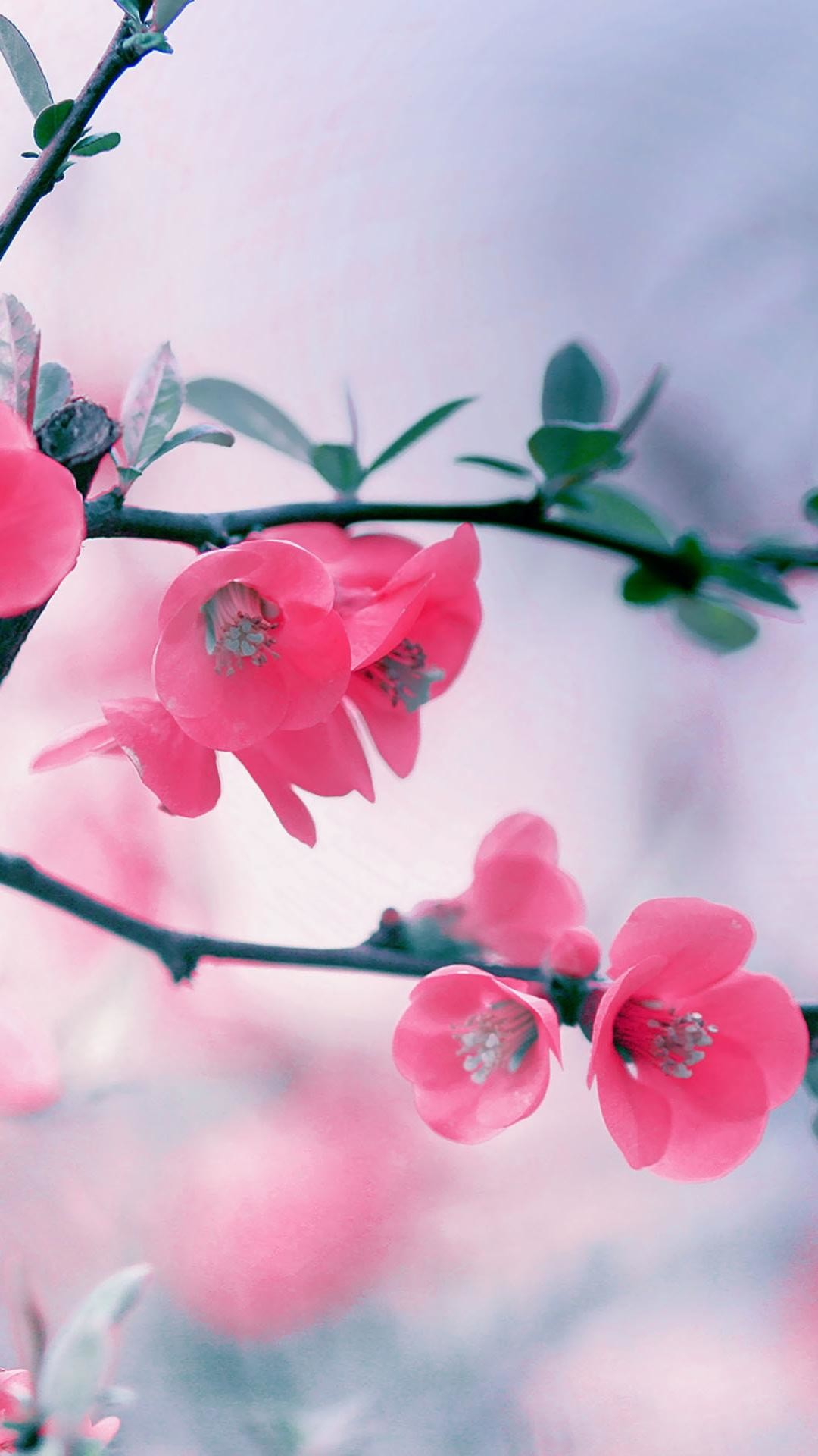 wallpaper.wiki-Pink-Cherry-Blossom-iPhone-Widescreen-Background-