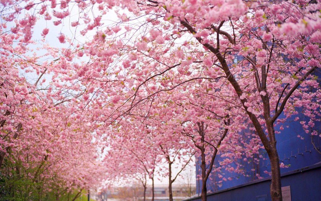 Wallpapers For > Desktop Background Cherry Blossom