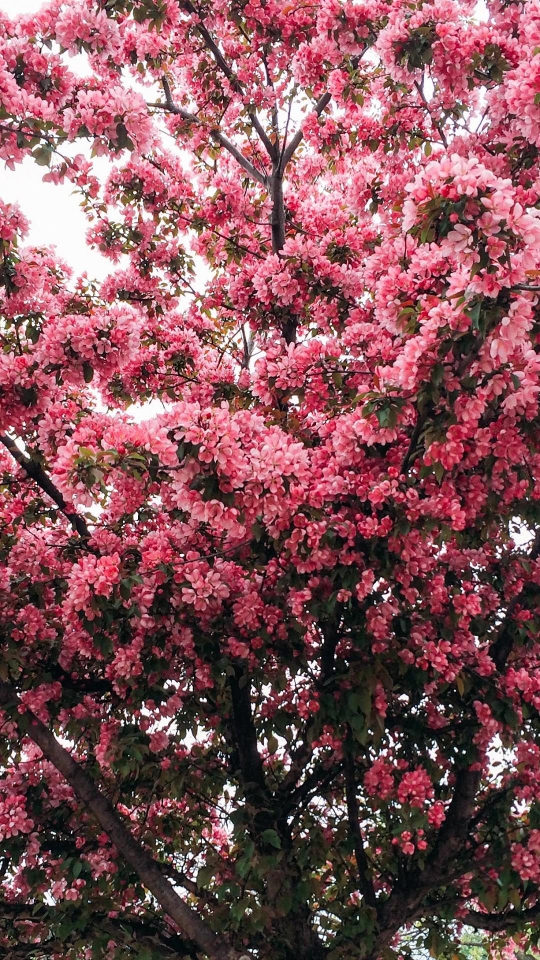 Cherry Blossom, Sakura Tree, Leaves, Branches