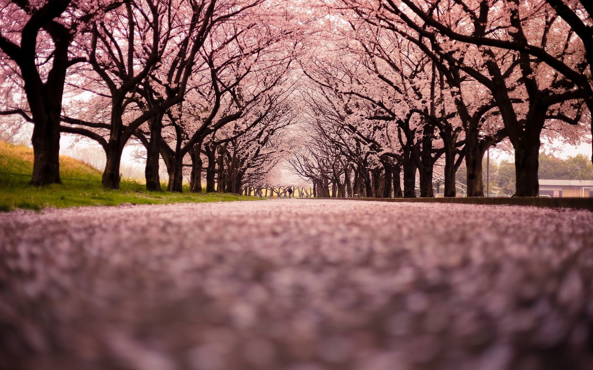 Viewing images of cherry blossom season 2016 with us