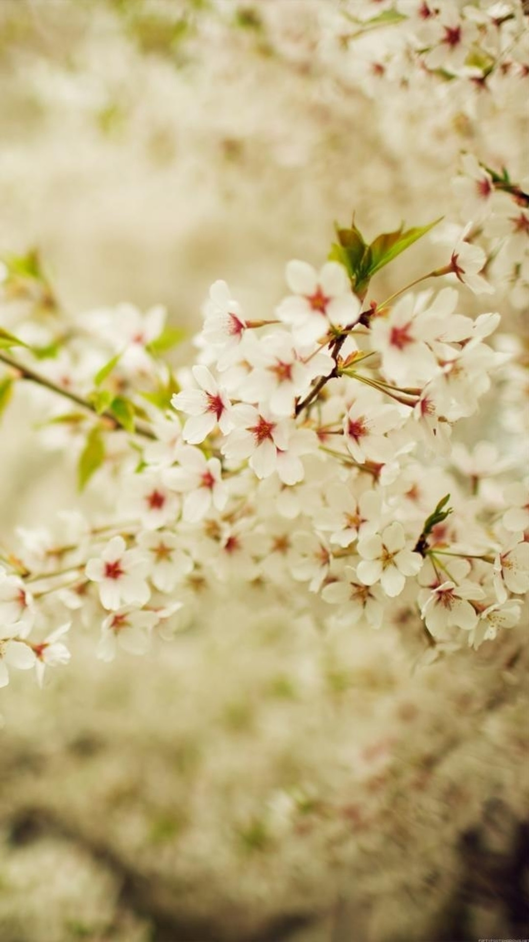 Romantic White Cherry Blossom Branch iPhone 6 wallpaper