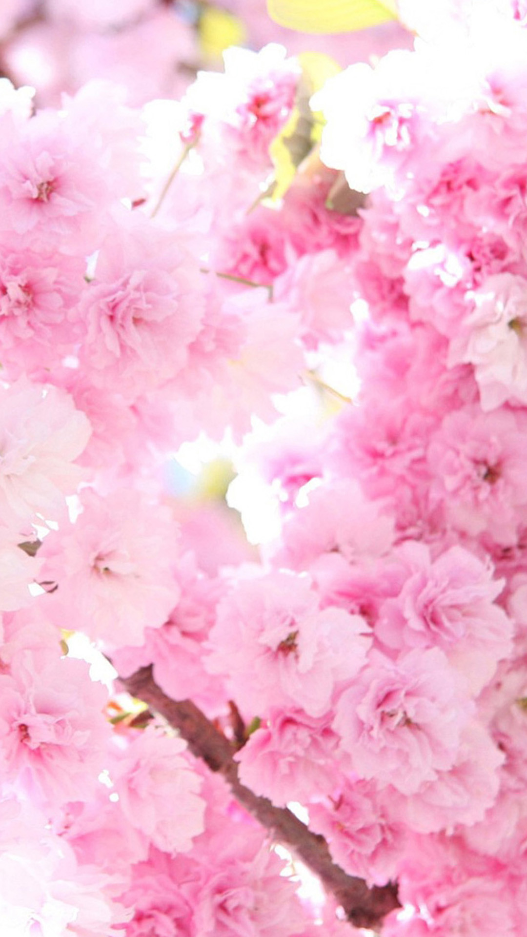 Pink cherry blossoms Flower Sony Xperia Z2 Wallpapers