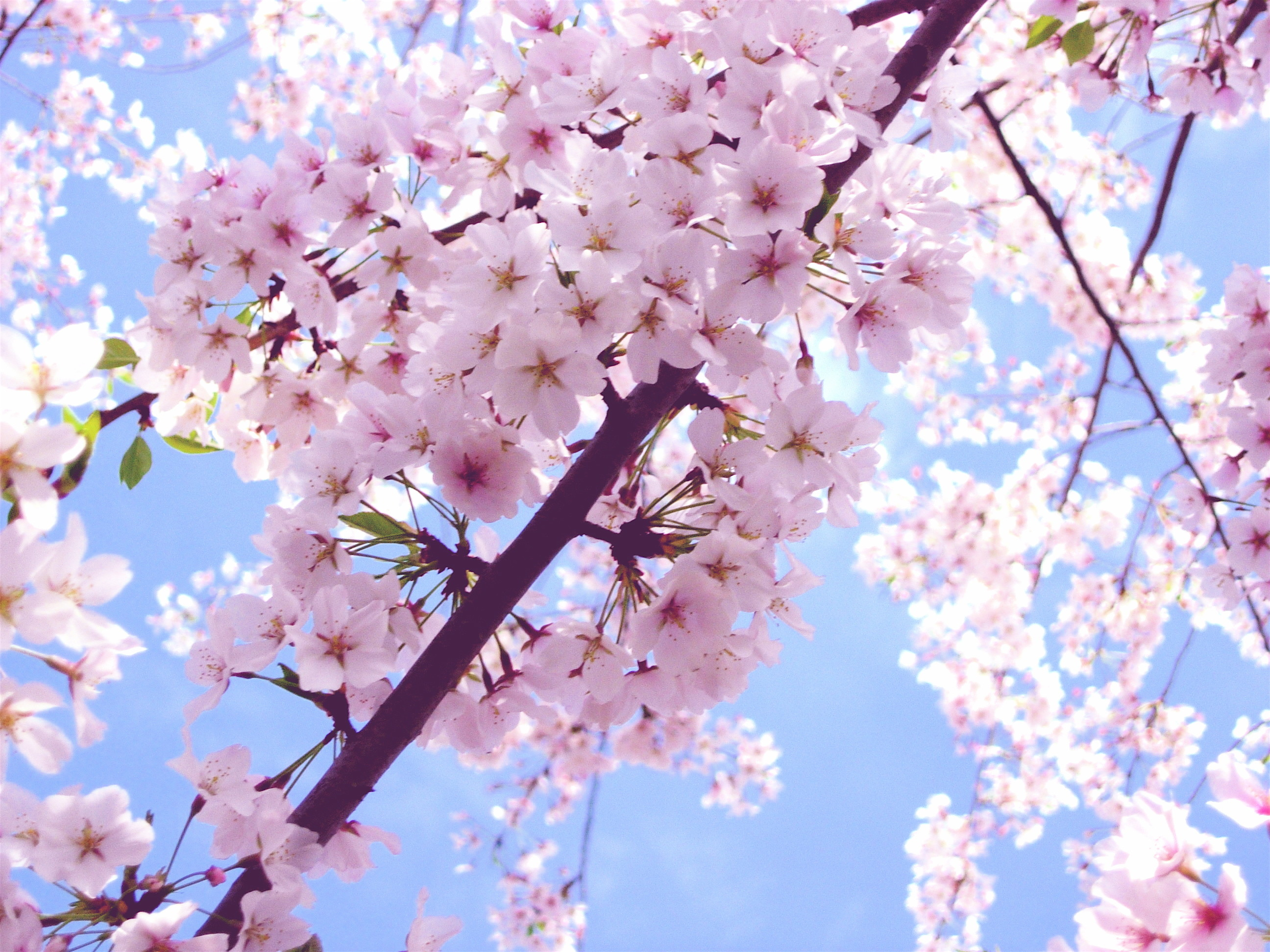 Beautiful Pink Cherry Blossom Wallpaper – Colors Wallpaper (34590437 .