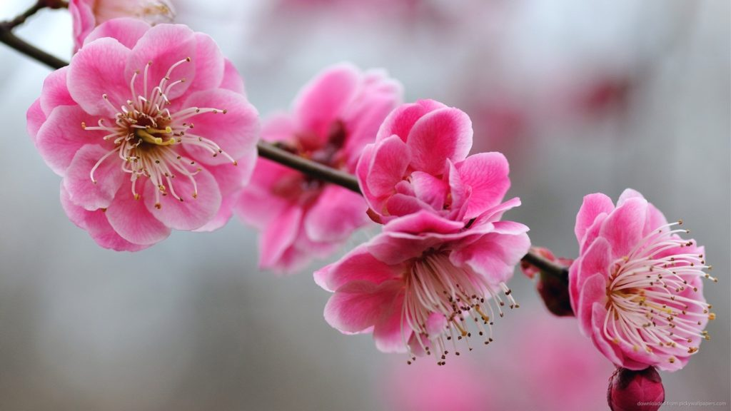 Cherry Blossoms picture