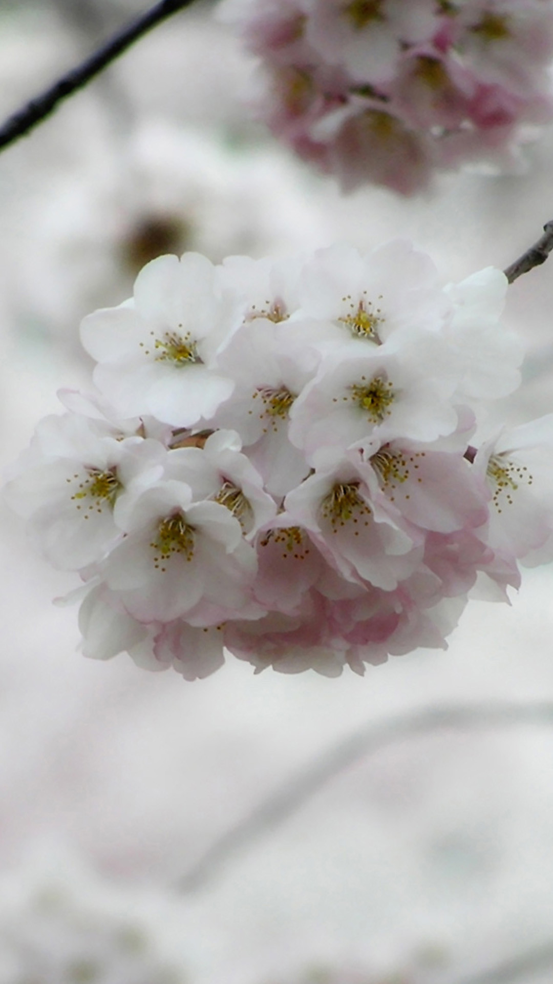 White cherry blossoms HD Wallpaper iPhone 6 plus