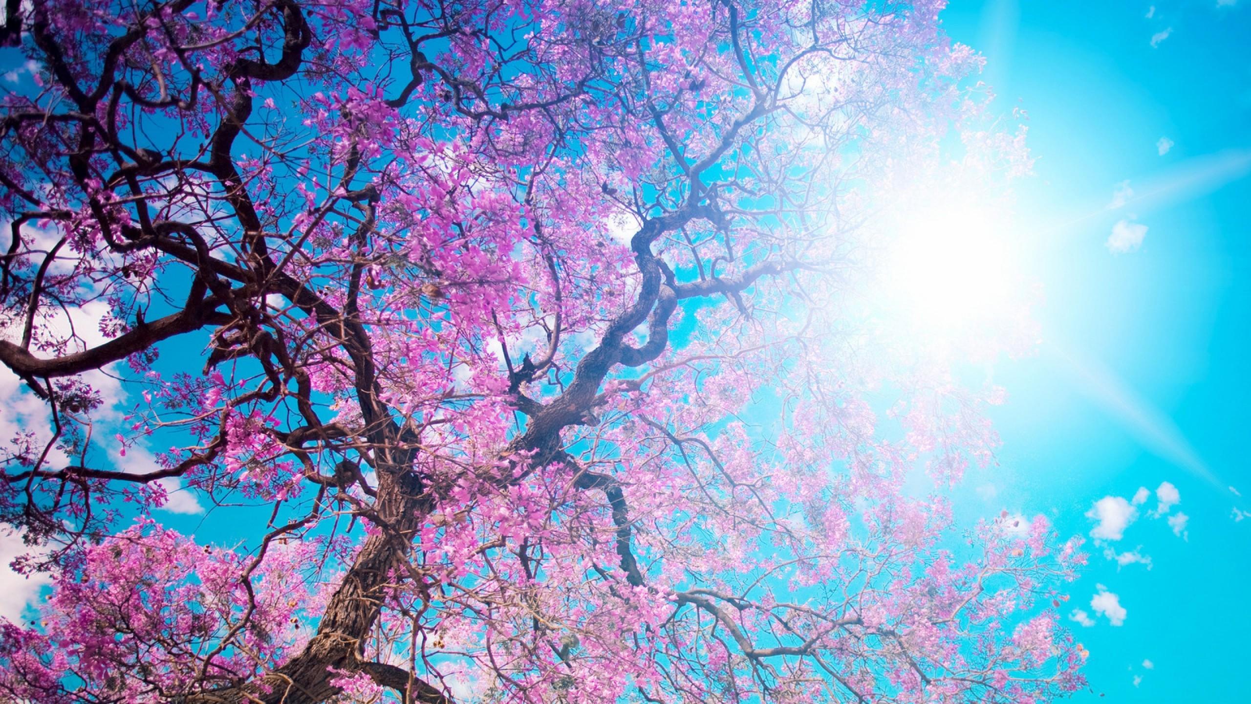 Wallpaper o-hanami, blossom festival and to enjoy the cherry  blossoms, japan