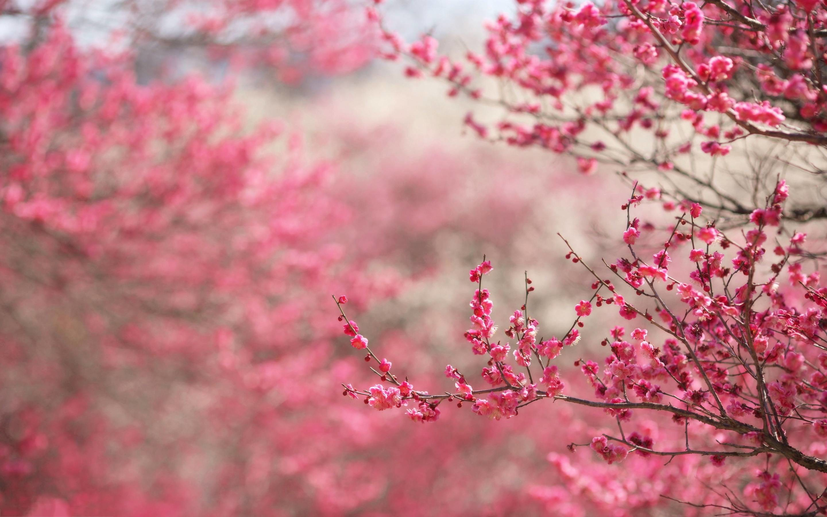 Wallpapers For > Pink Cherry Blossom Backgrounds