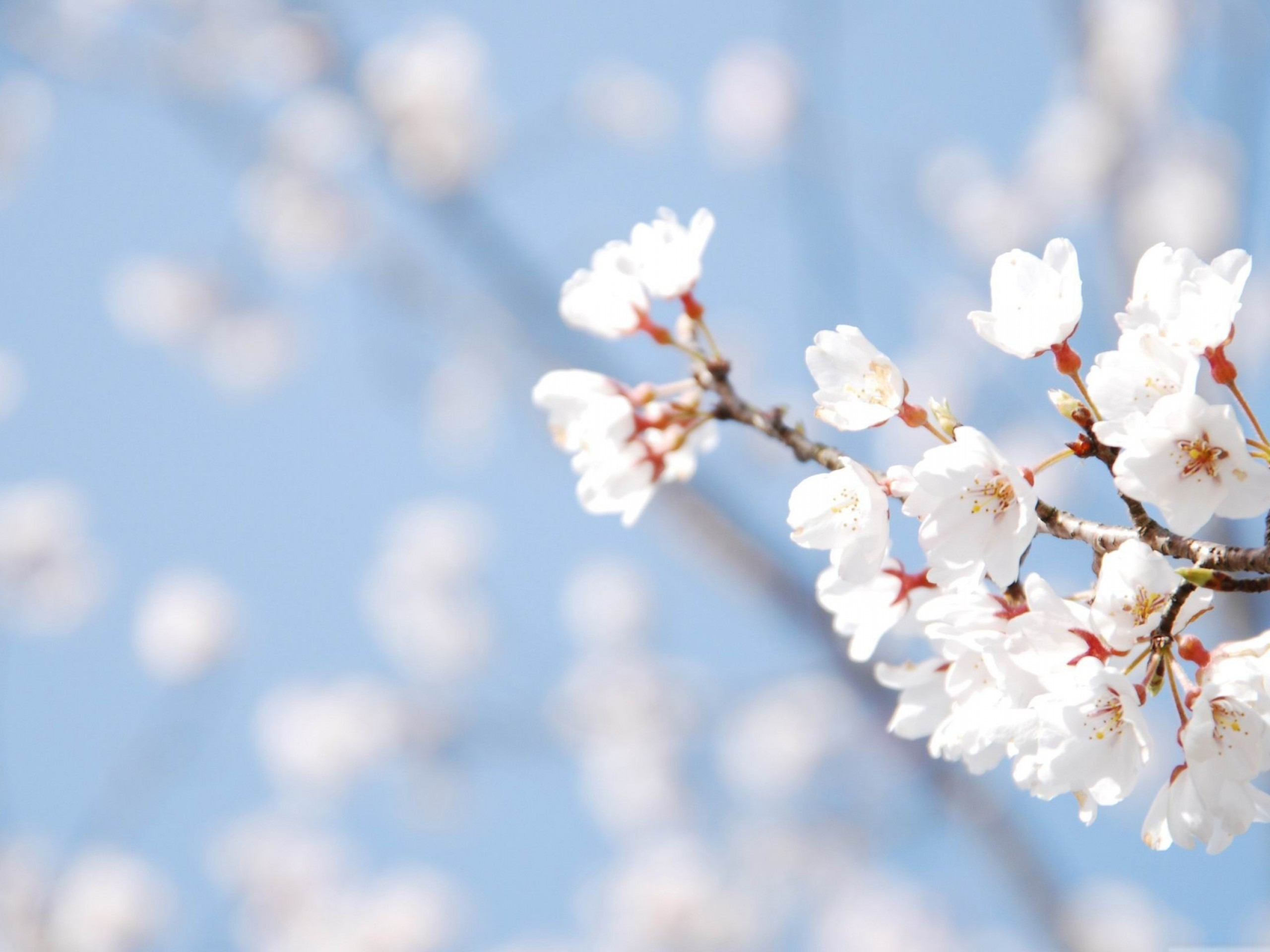 Cherry Blossom – Spring Desktop Wallpaper – Cherry Blossom – Spring .