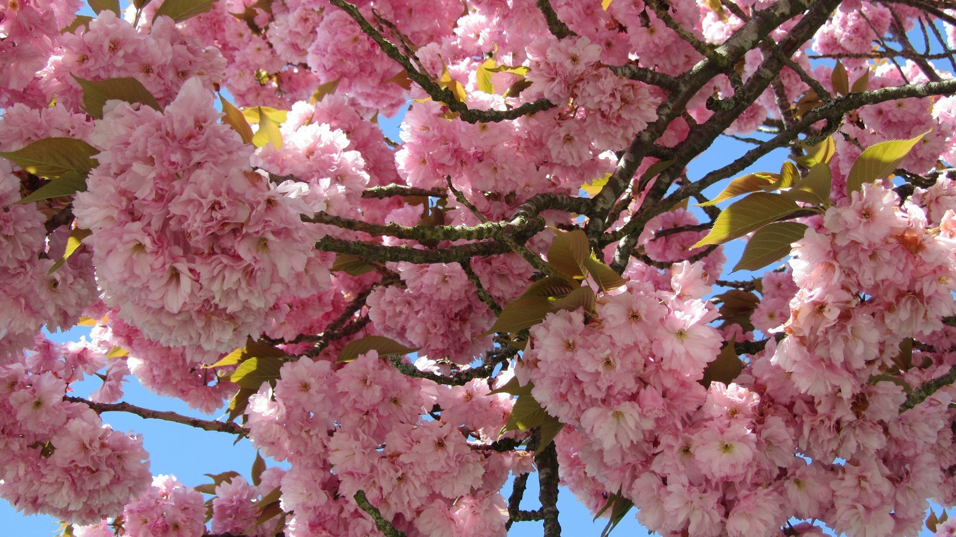 … natur flower pink cherry blossom sakura desktop wallpaper hd …