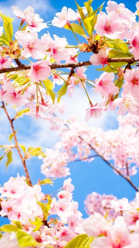 Cherry Blossom, Sakura, Tree, Branches, Spring