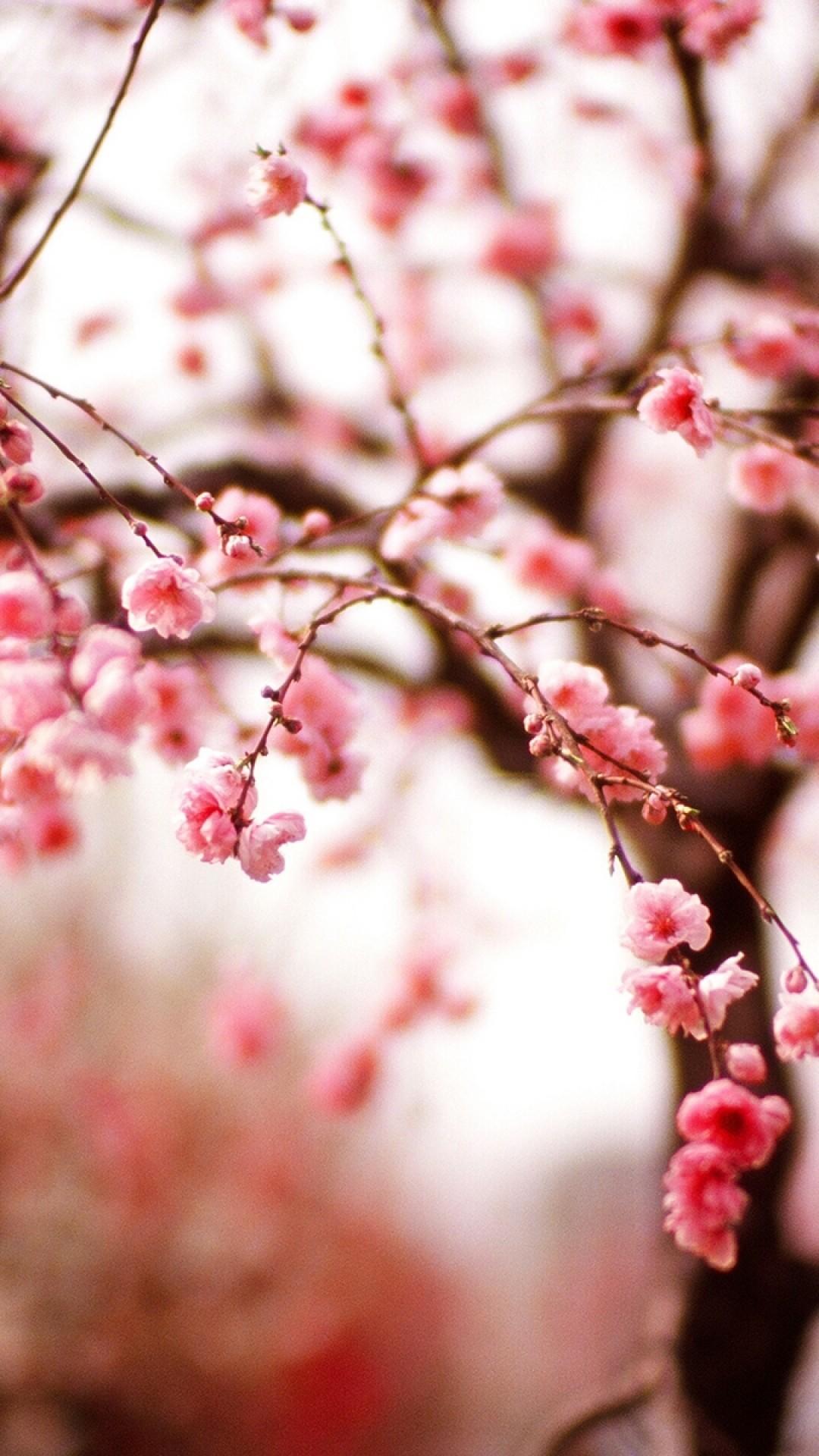 Cherry Blossom, Branches, Blurred, Sakura