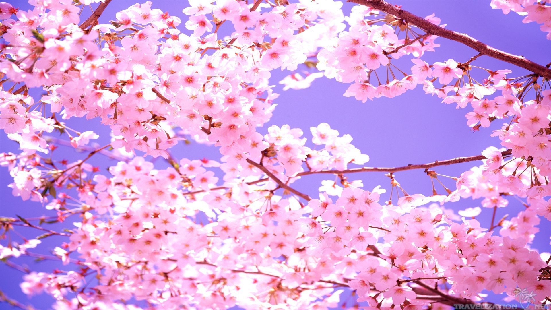 … 1920×1080 and 2560×1920. Beautiful Scene Cherry Blossom Wallpapers.  Beautiful Scene Cherry Blossom Wallpapers